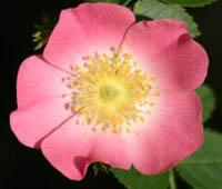 sweetbrier rose