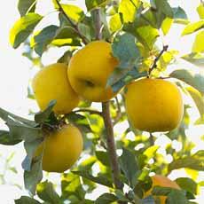 Opal Apples Tree