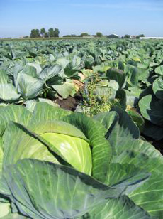 organic_cabbage-230