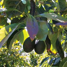 Avocados On Tree