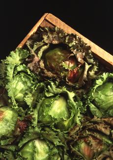 Lettuce-Bauer-230