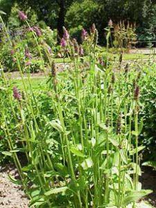 Crosnes Plant