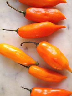 aji-amarillo-perudelights-230r