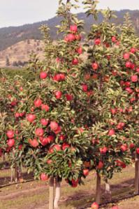 Ambrosia Apple Tree