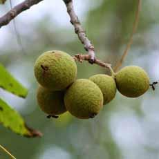 Walnuts In Hulls On Tree