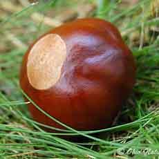 Buckeye Tree Nut