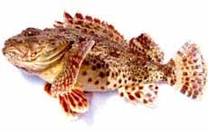 Sculpin Fish