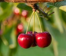 Cherry Cluster