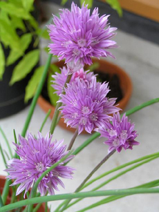 chive-blossoms-moreguefile-230
