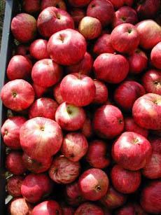 cider-apples-foxwhelp-cider.org.uk-230