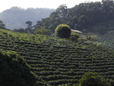 coffee-plantation-230