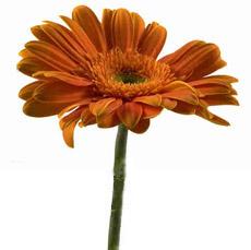 gerber daisy ii
