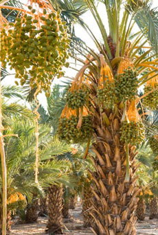 date-laden-trees-230