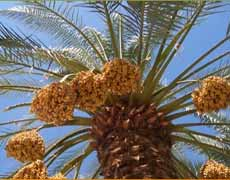 Dates On Tree