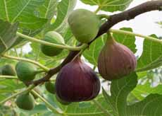 Figs On Tree