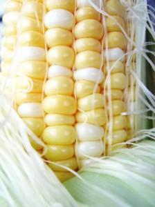 fresh-corn-230r