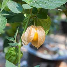 Groundcherry On Bush