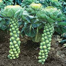 Brussels Sprouts In Field