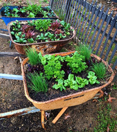 herbs-in-wheelbarrow-bonnieplants-230