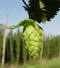 Hops Growing