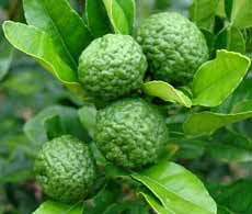 Kaffir Limes & Leaves