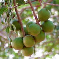 Macadamia Nuts On Tree