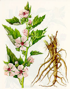 Marshmallow Plant & Root