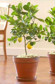 meyer-lemon-trees-slt-230