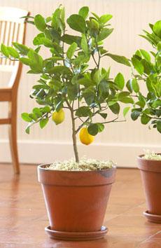 meyer-lemon-trees-slt-230