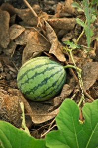 Watermelon On Vine