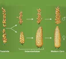 Original Corn Plant