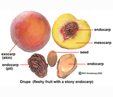 Peach Anatomy