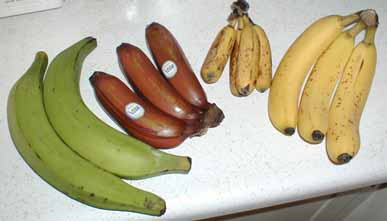 Plantain Cavendish Comparison