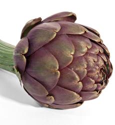 purple-artichoke-friedasFB-230r