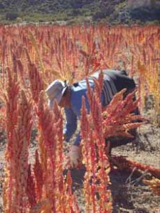 Red Quinoa Growing In Field