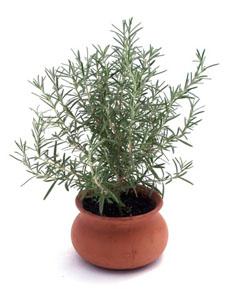 rosemary-pot-230
