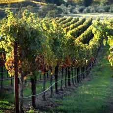 Sauvignon Blanc Vineyard
