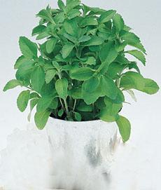 stevia-sweetleaf-potted-burpee-230