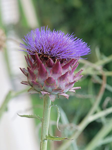 thistle-Cynara-scolymus-alvesgaspar-wiki