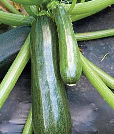 Zucchini On Vine